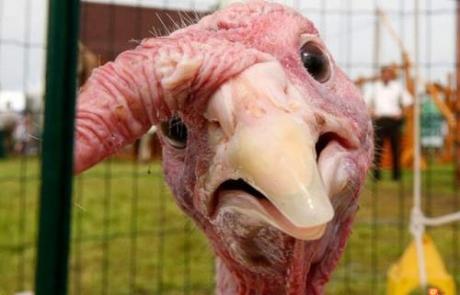 funny-turkey-01